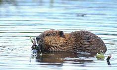 Beaver at Beaver Valley... naturally.