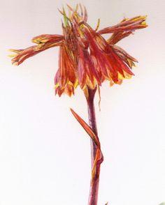 Tamanian Christmas Bells. Blandfordia sp. Watercolour. Melhillswildart