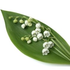 Bulk Lily of the Valley flowers are beautiful bell-shaped flowers with a sweet scent. Its small white blooms are extremely fragile and delicately rest upon broad basal leaves.