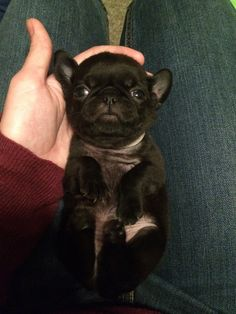 My dad bred our pugs, this was the product - Imgur