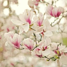 'Saucer Pink' Japanese Magnolia Trees - in Ontario, Magnolia trees bloom for Mother's Day.  ~special gift~