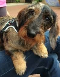 Image Result For Silky Dachshund Wire Haired Dachshund