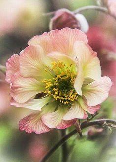 Hellebore - 'Rose de Noel'