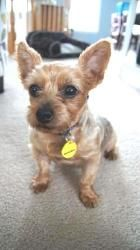 Nori is an adoptable Yorkshire Terrier Yorkie Dog in Perryville, MD. Please contact David ( dmham1586@gmail.com ), (410) 575-3426, (410) 575-3426 for more information about this pet. If your heart is ...
