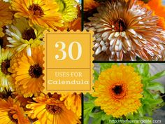 Calendula is a staple in my garden each year. The flowers are beautiful and colorful, plus they help with keeping some garden pests away, so we companion p