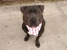 SUPER URGENT. TO BE DESTROYED. Brooklyn ACAC. My name is JOEY. My Animal ID # is A0991096.