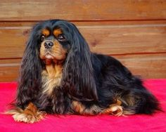 A truly regal Black and Tan Cavalier King Charles Spaniel