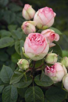 Rosa Charming Piano - Geurende, grootbloemige, sterke struikroos - 100 cm
