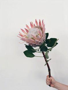 A Protea cynaroides, também conhecida como King Protea, é a maior flor (considerando sua cabeça) do gênero.