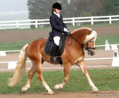 definitely getting a Haflinger one day. They are so sweet and FUN to ride!