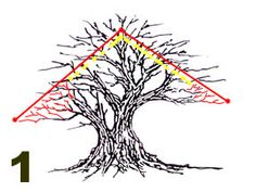 Creating a larger broad crown. If you want to keep the height of your tree the same but want to create a wider broader crown, set your top shin point at the end of the woody section and the lower branch points outside of existing low branch points.
