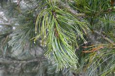 pine • Valle Maira, Piedmont, Italy • www.invalmaira.it