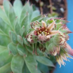 Suculentas em Flor
