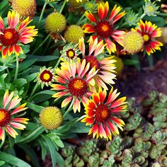 Blanket flower - Top Water-Wise Plants - Sunset