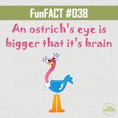 #DYK that an ostrich's eye is bigger that it's brain. #funfacts