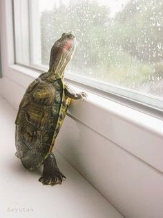 The popularity of tortoises as pets has increased over time. This is because they are silent, they do not shed any far and they are cute. They are most cute Cute Creatures, Beautiful Creatures, Animals Beautiful, Cute Baby Animals, Animals And Pets, Funny Animals, Wild Animals, Reptiles Et Amphibiens, Turtle Love