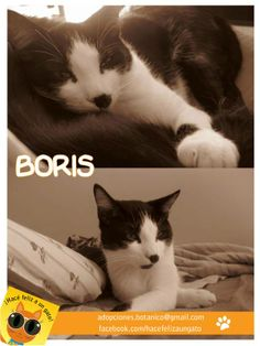 """Les presentamos a Boris (ex Adolfito) que junto a su hermano gatuno Toto se la pasan durmiento y jugando en la cama de Paula quien nos manda: """"te adjunto unas fotos para que veas lo hermoso que está! Con Toto mi otro gatito se aman, y realmente estamos muy felices los 3 """" Amor gatuno para todos"""
