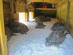 Russian Tortoise Diet Guide / Helpful Tips And Tricks Tortoise House, Tortoise Food, Tortoise Habitat, Turtle Habitat, Sulcata Tortoise, Tortoise Care, Tortoise Turtle, Turtle Enclosure, Tortoise Enclosure