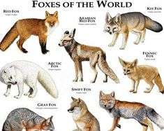 Fine art illustration of foxes of the world Species featured: ARCTIC FOX (Vulpes. Animals And Pets, Baby Animals, Cute Animals, Types Of Animals, Wild Animals, Beautiful Creatures, Animals Beautiful, Swift Fox, Animal Species