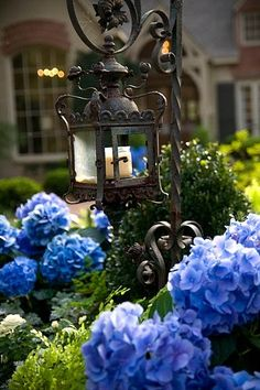 Blue hydrangeas & iron lantern