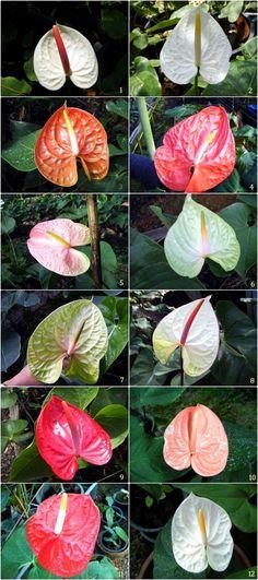 Anthurium Thai Hybrids For Sale Anthurium Plant Indoor Flowering Plants Tropical Flower Plants