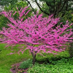 Add color to your home garden or patio with our Eastern Redbud Trees. Wisteria Tree, Dogwood Trees, Trees And Shrubs, Trees To Plant, Redbud Trees, Trees With Flowers, Purple Wisteria, Purple Trees, Colorful Trees