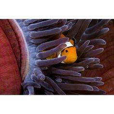 Clown Anemonefish (Amphiprion Percula) Hiding In Anemone Indonesia Canvas Art - Dave Fleetham Design Pics x Clownfish Anemone, Canvas Art, Canvas Prints, Finding Nemo, Parrot, Art Decor, Framed Prints, Animals, Design