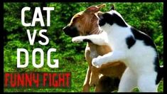 😸 Funny Cat and Funny Dog Fighting Videos fail Compilation Best New HD WWE cat vs dog Fun Vines 🐶 Funny Cat vs Funny Dog Fighting Videos… Silly Cats, Cats And Kittens, Funny Dogs, Funny Animals, Cat Vs Dog, Raining Cats And Dogs, Dog Fighting, Super Funny, Best Dogs