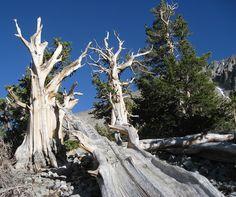 bristlecone-pines-6