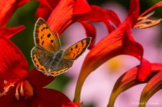 The Real American Copper Butterfly