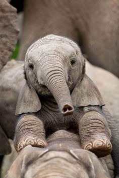 Upside down heart on baby elephant trunk - SO sweet! Cute Baby Animals, Animals And Pets, Funny Animals, Large Animals, Nature Animals, Wild Animals, Beautiful Creatures, Animals Beautiful, Regard Animal