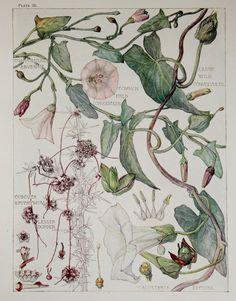 1910 Botanical Print by H. Isabel Adams