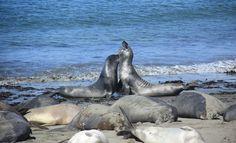 Google Image Result for http://cache.virtualtourist.com/15/6303162-Elephant_Seals_Cambria.jpg