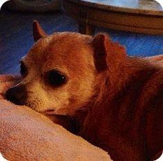Glastonbury, CT - Chihuahua. Meet Quinn-LOCAL a Dog for Adoption.