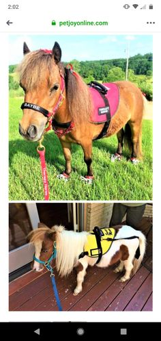Miniature horses in therapy gear. (None of the photos are mine and I do not claim to own them.) They are just minature horse therapy inspiration. Horse Therapy, Miniature Horses, Dog Vest, Service Dogs, Working Dogs, Pony, Miniatures, Around The Worlds, Photos