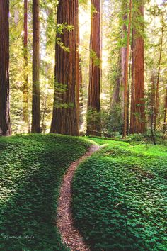 Travel To : Forest Path, The Redwoods, California Beautiful World, Beautiful Places, Magic Places, Nature Landscape, Forest Path, Redwood Forest, Parc National, Belle Photo, Beautiful Landscapes