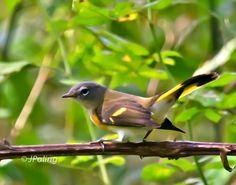 American Redstart, female, Jackson Park, Hendersonville, NC
