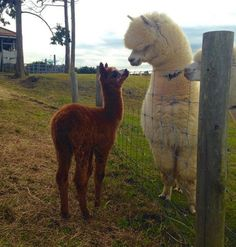 Alpaca and llama size difference Super Cute Animals, Cute Funny Animals, Cute Baby Animals, Animals And Pets, Alpacas, Cute Alpaca, Baby Alpaca, Lama Animal, Alpaca My Bags