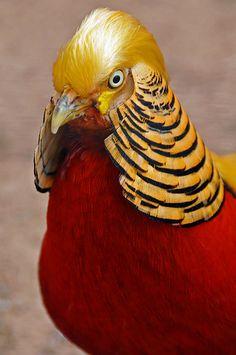 A Red Golden Pheasant, Shubenacadie, Nova Scotia, Canada Beautiful Chickens, Most Beautiful Birds, Pretty Birds, Tropical Birds, Exotic Birds, Colorful Birds, Unusual Animals, Majestic Animals, Beautiful Creatures