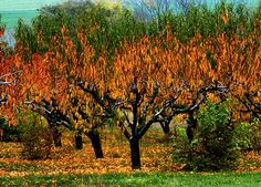 """Fire in the Orchard"" The shape of the leaves adds to the effect that the trees are on fire (they are not)"