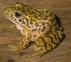Crawfish Frog :: Arkansas Frogs and Toads - Click Image to hear frog.
