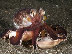 Coconut Octopus Carrying a Clam Shell, North Sulawesi