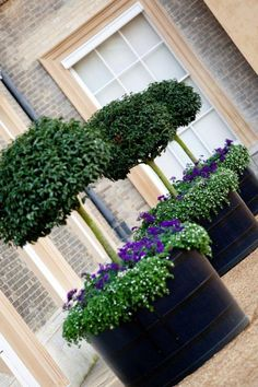 large black planters with topiary standards and purple underplanting