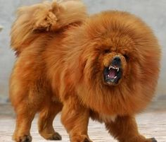 tibetan mastiff (red) Most expensive dog in the world. 1.5 million dollars one was sold.