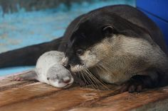 Mother otter keeps a watchful eye on her tiny pup - April 20, 2015 - More at today's Daily Otter post: http://dailyotter.org/2015/04/20/mother-otter-keeps-a-watchful-eye-on-her-tiny-pup/