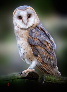 ~~Barn Owl (Tyto alba) by Jean-Claude Sch.~~