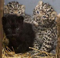 Amur Leopard Cubs.
