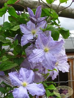 Blue Angel .. clematis, 8'-10', blooms June - September, prune hard, sun to part shade.