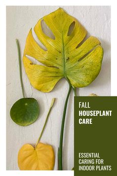 Indoor plants are affected by the change is season as much as outdoor plants are. Here is how to care for indoor plants in the fall. #houseplantcare #houseplants #fallhouseplantcare #gardeningtips #indoorgardening
