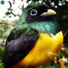 https://www.facebook.com/pages/THI%C3%8AN-NHI%C3%8AN-K%E1%BB%B2-TH%C3%9A/171150349611448 Chim Nuốc tím/Nuốc Guiana Nam Mỹ | Violaceous trogon/Guianan trogon (Trogon violaceus)(Trogonidae) IUCN Red List of Threatened Species 3.1 : Least Concern (LC) | (Loài ít quan tâm)